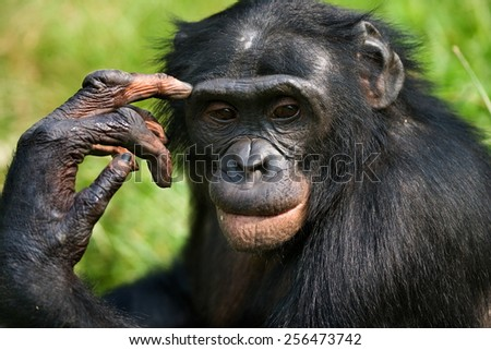 Portrait of a Bonobo. Democratic Republic of the Congo. - stock photo