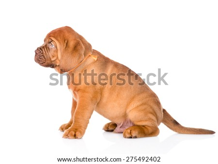 Portrait of a Bordeaux puppy dog in profile. isolated on white background - stock photo