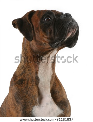 Portrait of a Boxer Dog - stock photo