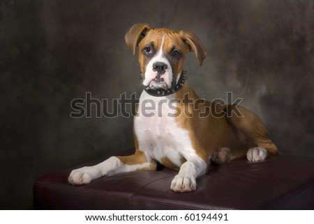 Portrait of a boxer puppy with a spiked collar.