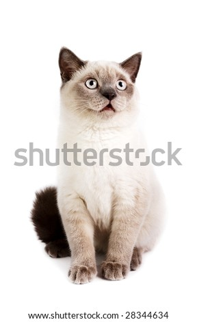 Portrait of a British Shorthaired Cat on a white background. Studio shot.