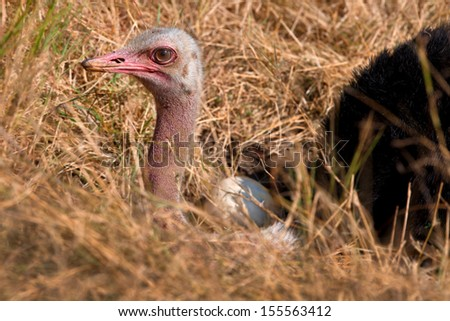 Portrait of a brooding Masai Ostrich with an egg outside in Masai Mara, Kenya - stock photo