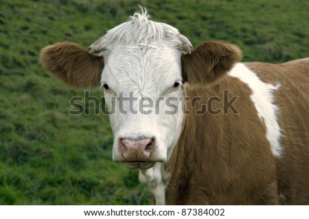 portrait of a brown and white pied cow in green grassy back - stock photo