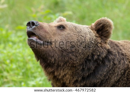 Portrait of a brown bear in a forest in Germany.