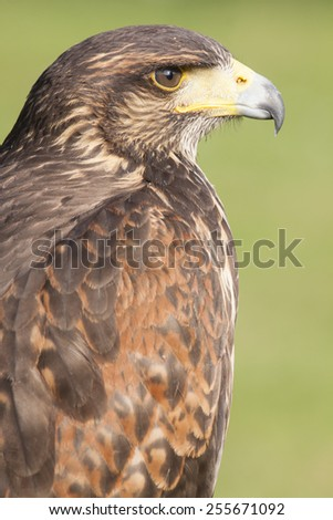 portrait of a brown european golden eagle with closed beak - stock photo