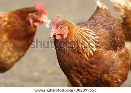 portrait of a brown hen  coming towards the camera, image taken in the bio farm yard - stock photo