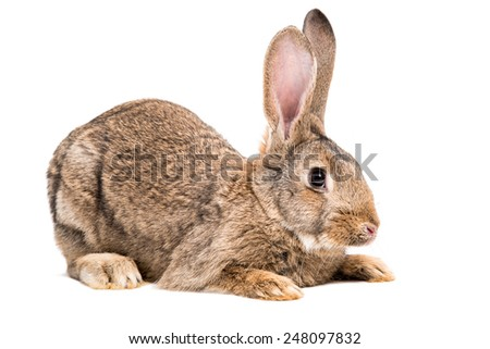 Portrait of a brown rabbit isolated on white background - stock photo
