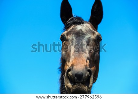 Portrait of a brown stallion.  Portrait of a sports brown horse. Thoroughbred horse. Beautiful horse. Horse head over blue sky. - stock photo