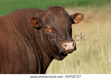 Portrait of a bull against a pasture background - stock photo