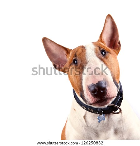 Portrait of a bull terrier on a white background