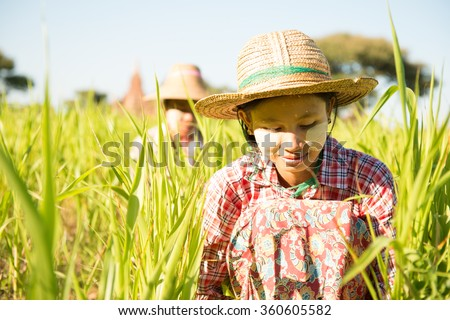 Portrait of a Burmese women farmer with thanaka powdered face harvesting in field.