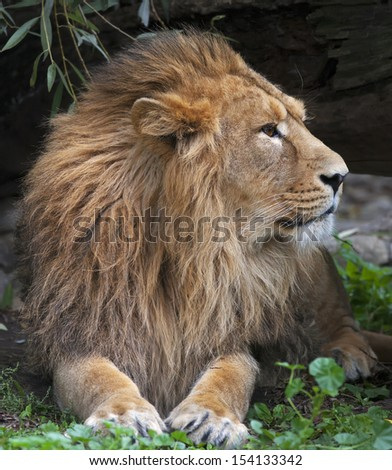Portrait of a calm Asian lion in shady forest. The King of beasts, biggest cat of the world. The most dangerous and mighty predator of the world. Wild beauty of the nature. - stock photo