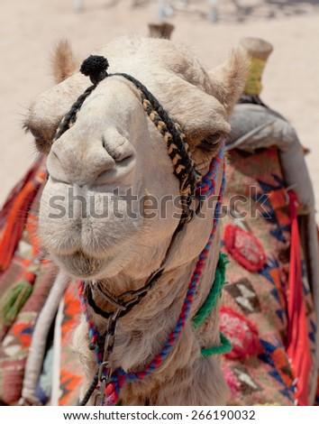 Portrait of a camel Egypt. - stock photo