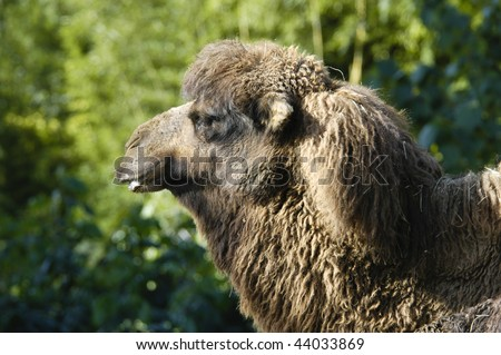 Portrait of a camel in captivity.