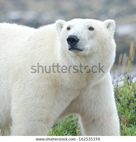Portrait of a Canadian Polar Bear walking in the colorful arctic tundra of the Hudson Bay near Churchill, Manitoba in summer - stock photo