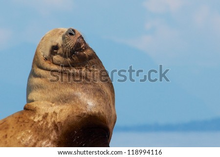 Portrait of a Canadian Stellar Sea Lion sitting on a rock close to Vancouver - stock photo