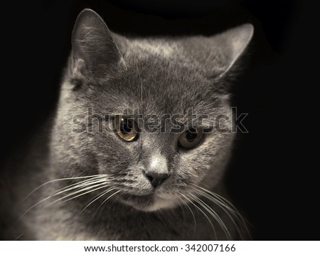 Portrait of a cat. British Shorthair cat breed. Cheshire cat. The sight of a cat. Cat's-eye. Pet the animal on a black background. Graceful and proud cat. The Cheshire smile.  - stock photo