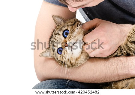 Portrait of a cat Scottish Straight lying at the hands a man isolated on white background - stock photo