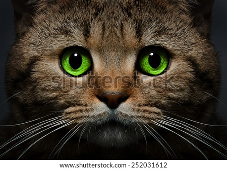 Portrait of a cat Scottish Straight with green eyes closeup on a black background - stock photo