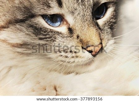 Portrait of a cat with blue eyes close-up - stock photo