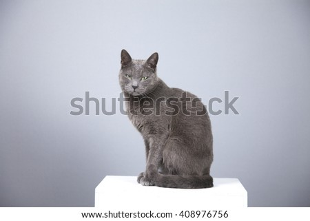 portrait of a charming gray cat, posing on a pedestal, studio shooting on middle gray background