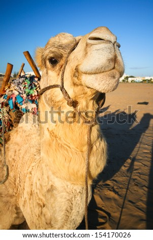 Portrait of a cheerful domestic camel. - stock photo
