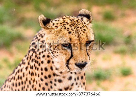 Portrait of a Cheetah at the Naankuse Wildlife Sanctuary, Namibia, Africa