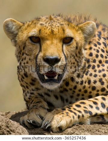 Portrait of a cheetah. Close-up. Kenya. Tanzania. Africa. National Park. Serengeti. Maasai Mara. An excellent illustration. - stock photo