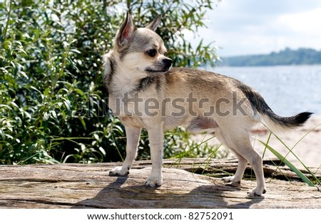 portrait of a chihuahua-pet at the beach - stock photo