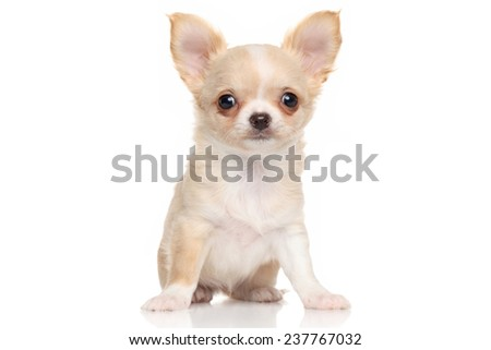 Portrait of a Chihuahua puppy on white background - stock photo