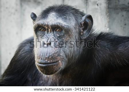 portrait of a chimp - stock photo