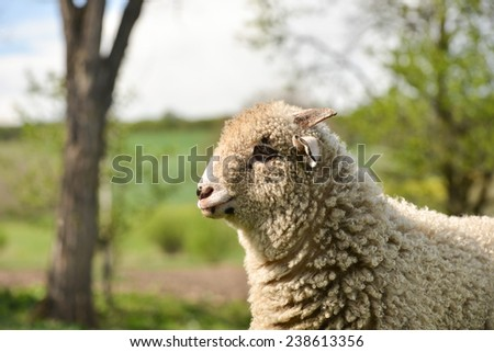 Portrait of a clumsy lamb standing on grass - stock photo