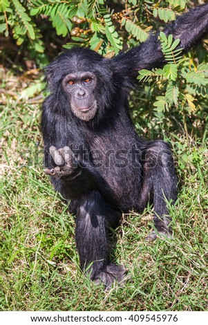 Portrait of a Common Chimpanzee in the wild, Africa.
