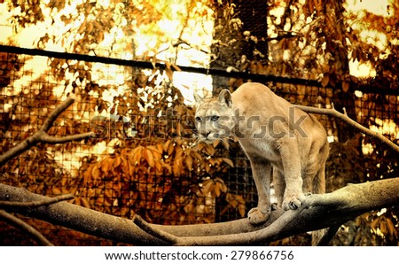 Portrait of a cougar, mountain lion, puma, panther, striking a pose on a fallen tree, autumn scene in the woods - stock photo