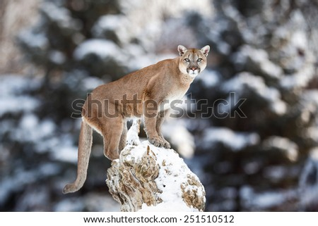 Portrait of a cougar, mountain lion, puma, panther, striking a pose on a fallen tree, Winter scene in the woods, wildlife America - stock photo