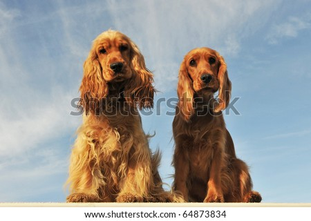 portrait of a couple of purebred english cocker on a blue sky