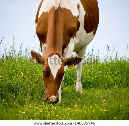 portrait of a cow in a meadow - stock photo