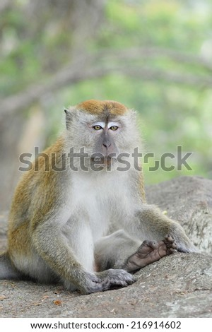 Portrait of a Crab-Eating Macaque