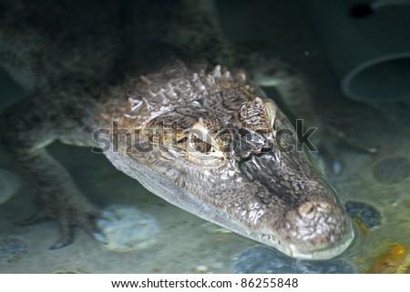 Portrait of a crocodile inside water - stock photo