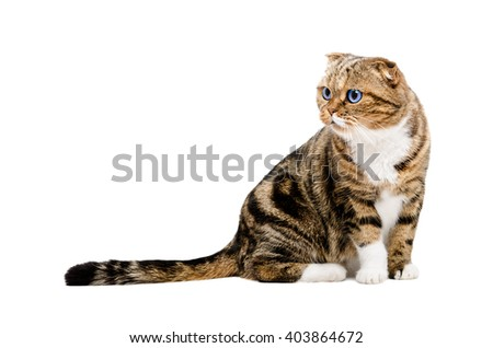 Portrait of a curious cat Scottish Fold sitting isolated on white background - stock photo