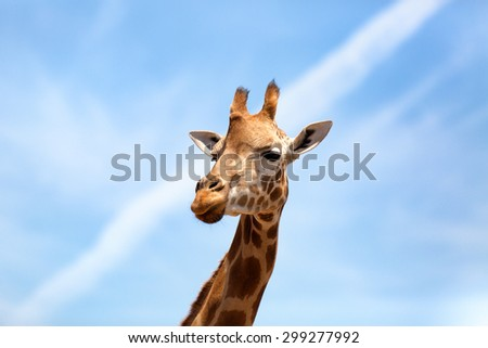 Portrait of a curious giraffe (Giraffa camelopardalis) over blue sky with white clouds in wildlife sanctuary. Australia. - stock photo
