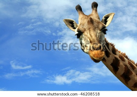 Portrait of a curious giraffe (Giraffa camelopardalis) over blue sky with white clouds in wildlife sanctuary near Toronto, Canada - stock photo