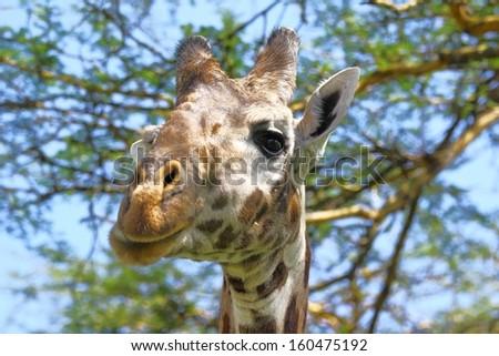 Portrait of a curious giraffe (Giraffa camelopardalis) under acacia tree. - stock photo