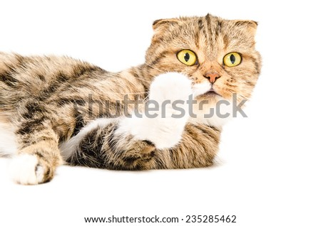 Portrait of a curious Scottish Fold cat lying - stock photo