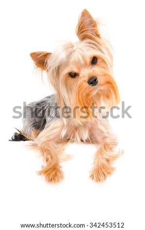 Portrait of a curious Yorkshire terrier lying isolated on white background - stock photo