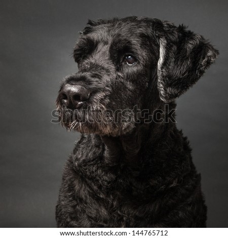 Portrait of a cute black dog, a Bouvier des Flandres on a gray background - stock photo