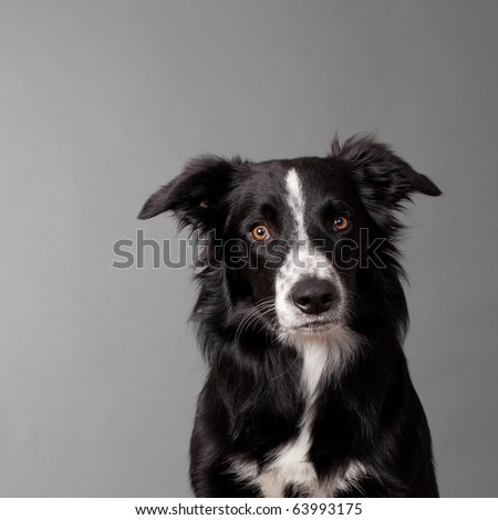 portrait of a cute bordercollie looking into the camera head and shoulder on grey background - stock photo
