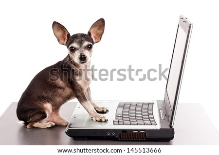 Portrait of a cute chihuahua dog in front of a laptop on white background - stock photo