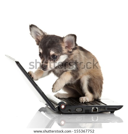 Portrait of a cute chihuahua dog in front of a laptop on white background.