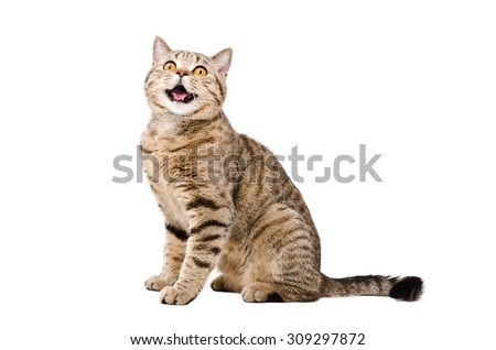 Portrait of a cute funny cat Scottish Straight isolated on white background - stock photo